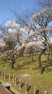 荒山公園の梅 (1)