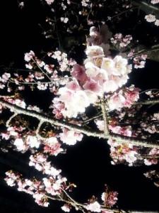 早咲き桜(あたみ桜) (1)