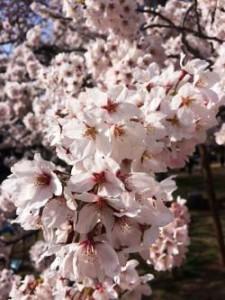 仙台 三神峯 桜