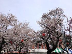 仙台 西公園 桜