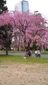 仙台 東北大学 桜