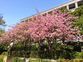 仙台 勾当台公園 桜