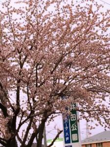 桜 日本 八戸