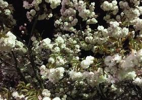 八重桜 日本