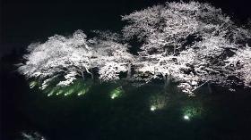 桜 日本 会津