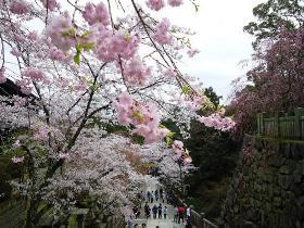 桜 日本 金毘羅