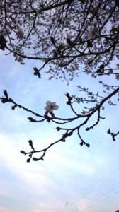 桜 日本 芦牧温泉