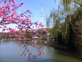 桜 日本 花になれ