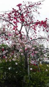 Goldwing 花 ハナカイドウ