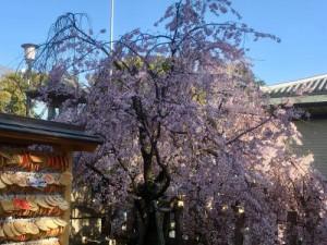 弓弦羽神社のしだれ桜