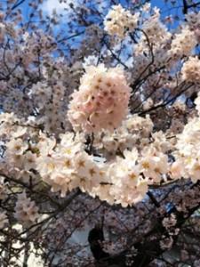 桜 さくら 仙台 復興